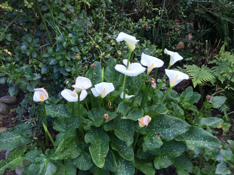 lilies 09:16.jpg