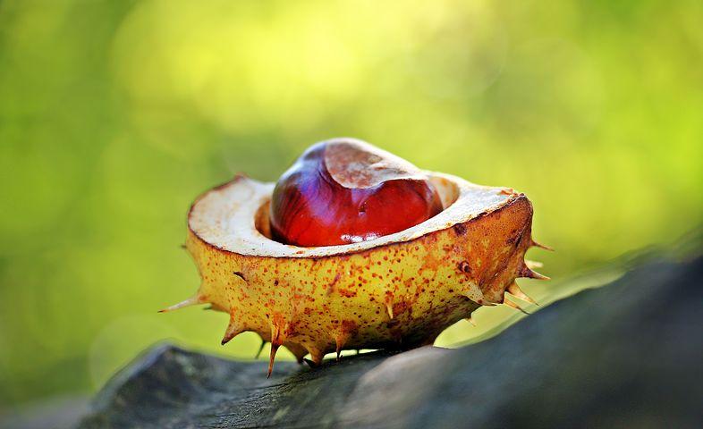 chestnut-1698730__480.jpg